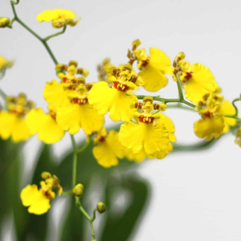 Plant Oncidium Orchids