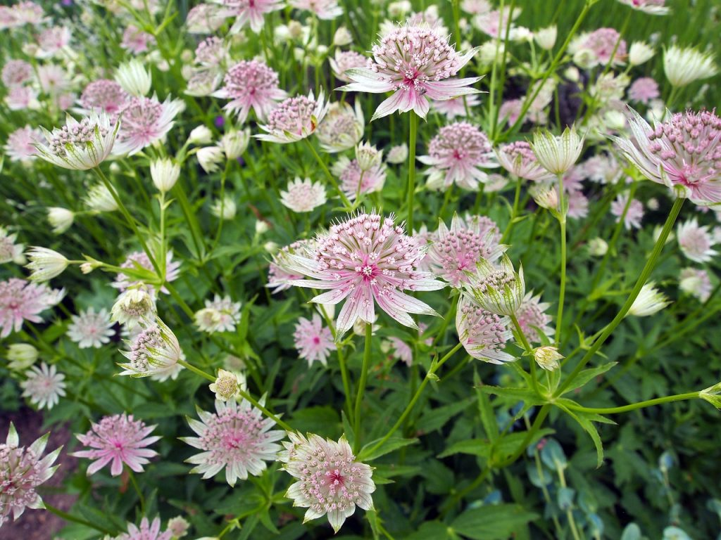 Requirements to Plant Astrantia