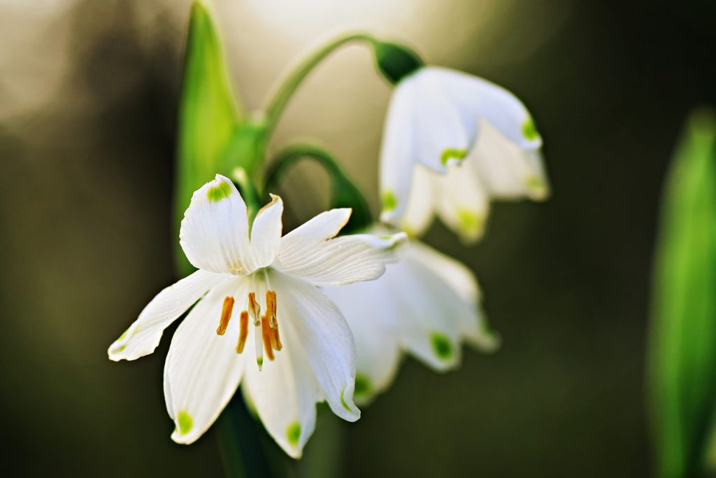 Snowdrops Facts