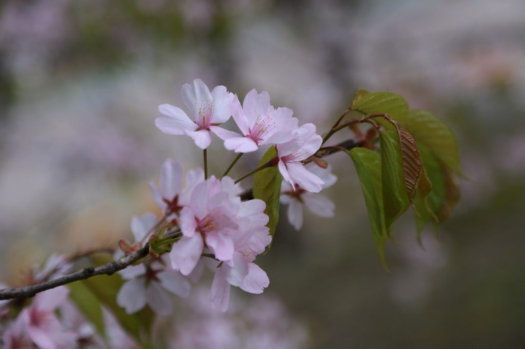 Symbolism of Cherry Blossoms