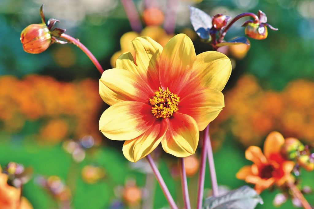 The Colours of Dahlia