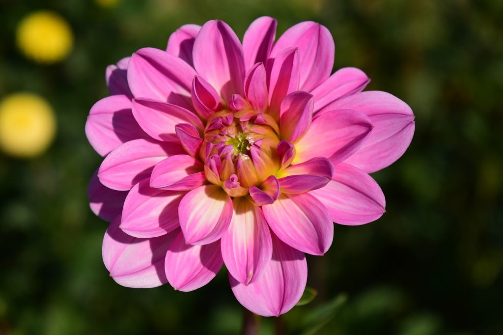 The Dahlia Flower Meaning