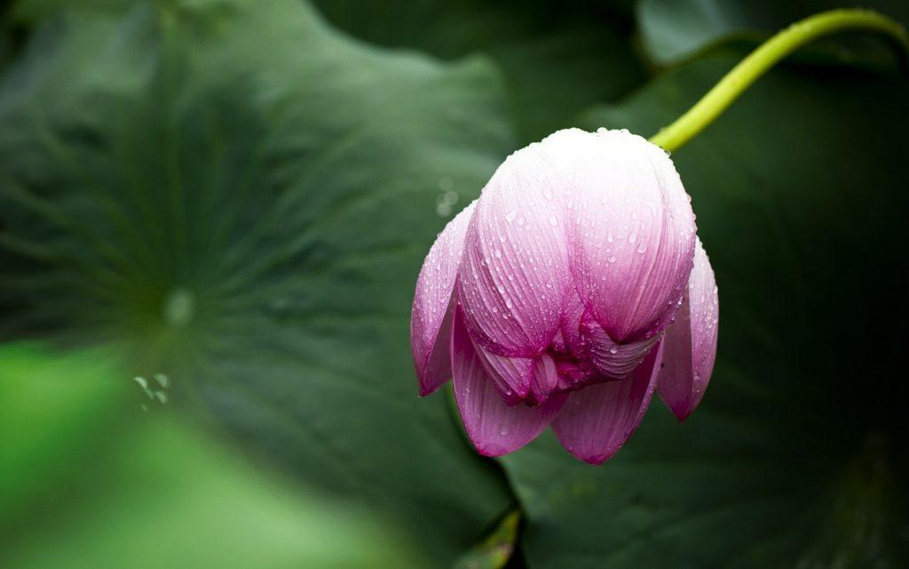 The Etymology of Lotus