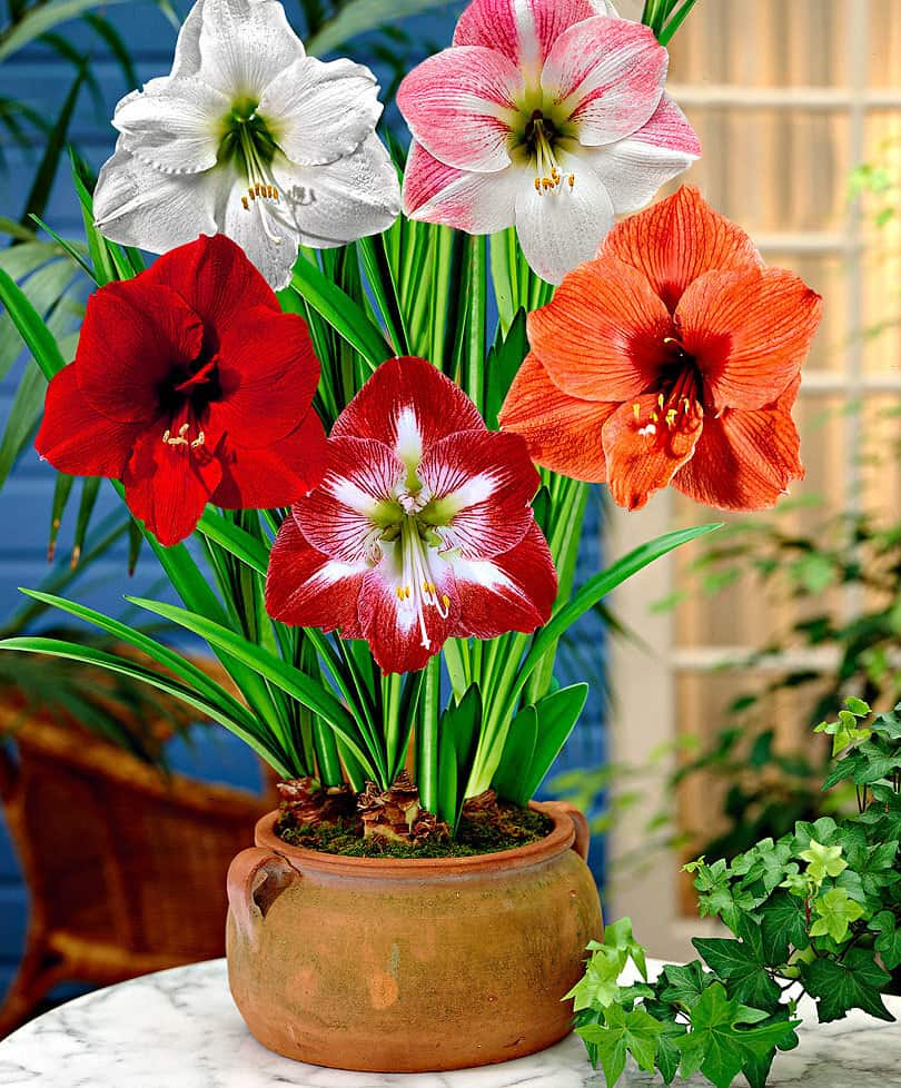 The History behind Amaryllis Name