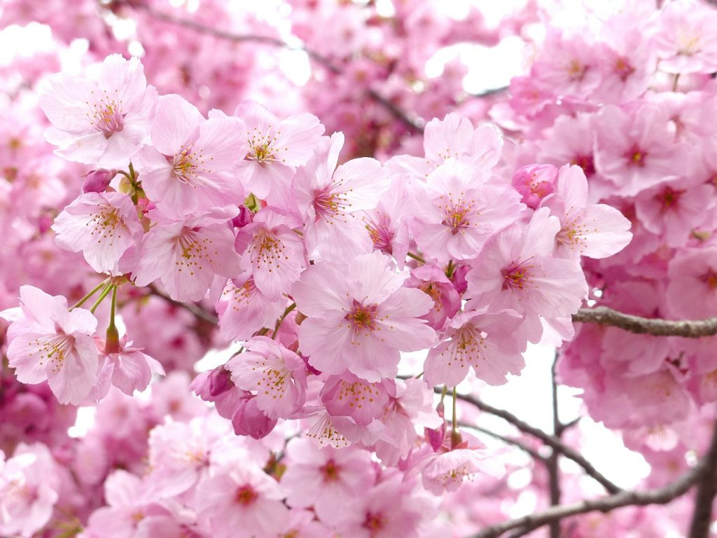 The Sakura Meaning