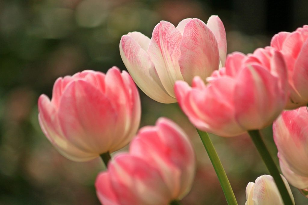 Tulips Meanings