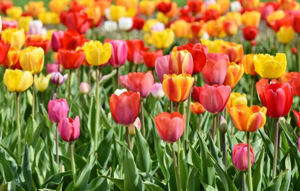 Tulips Story and Origin