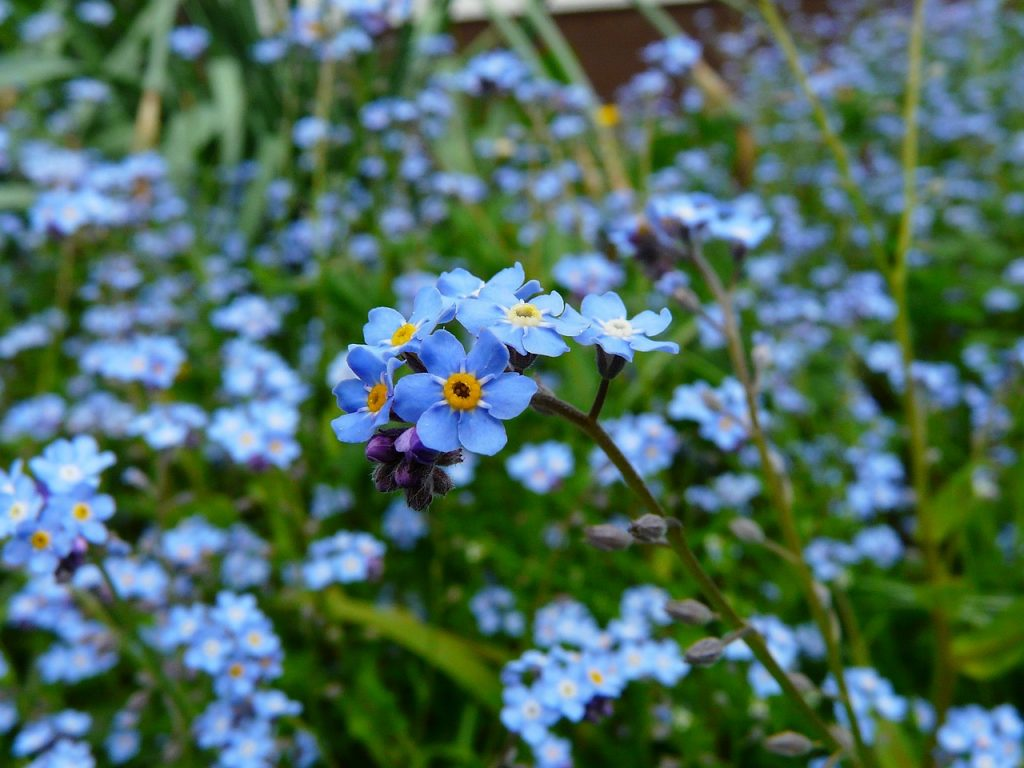 Types of Forget-Me-Not Flowers