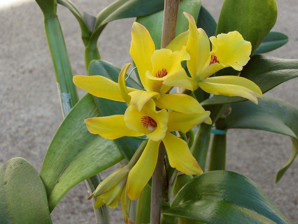 Vanilla Orchid Care Guide