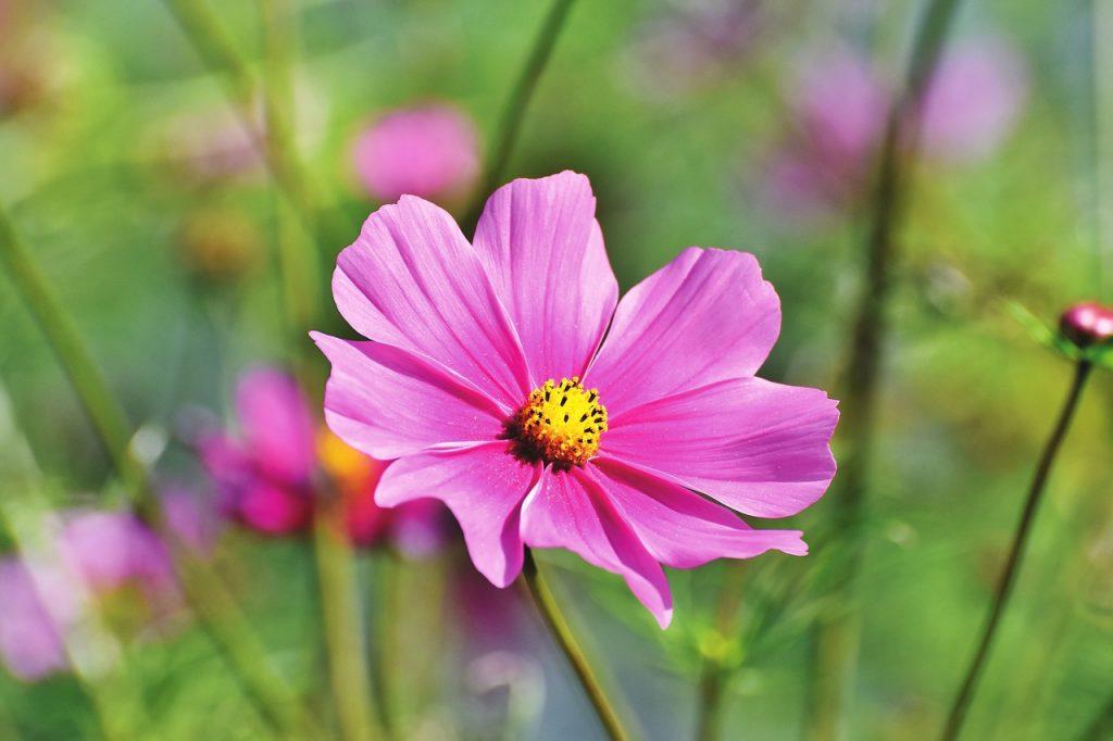 Varieties of Cosmos Flowers
