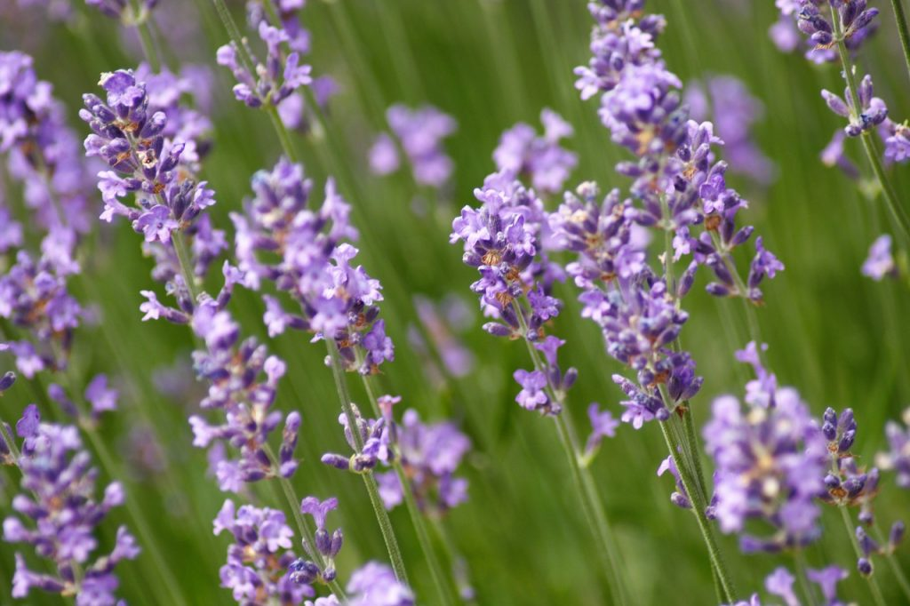 Varieties of Lavender Flowers