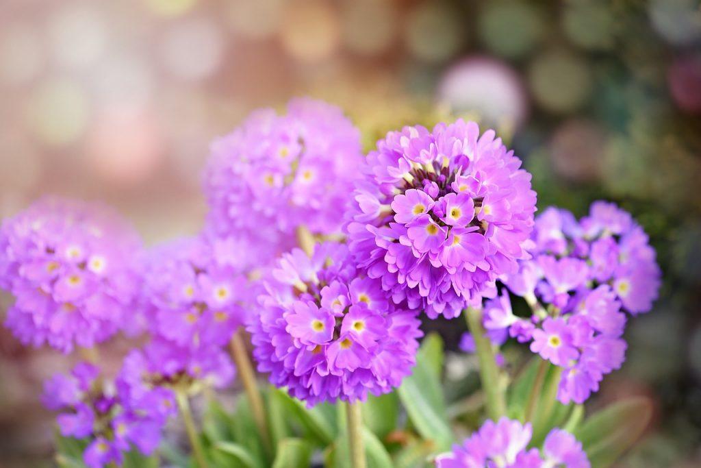 february birth flower - primrose