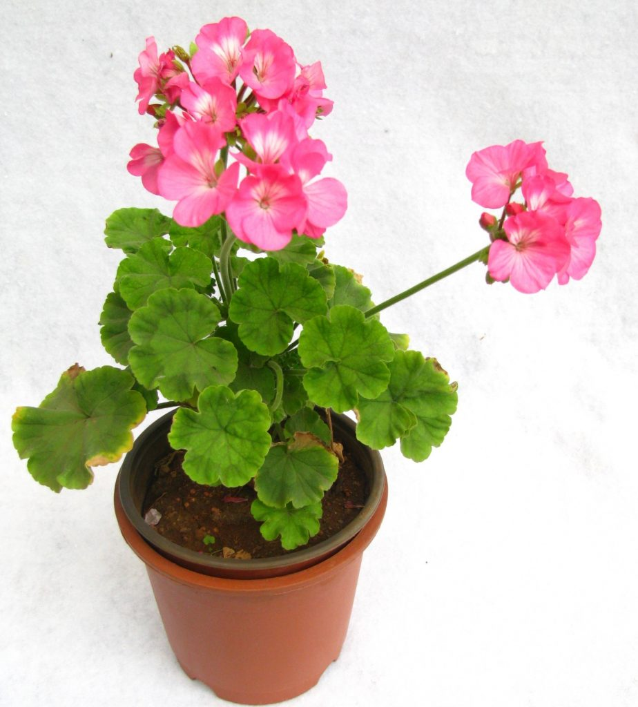 growing geraniums in pots