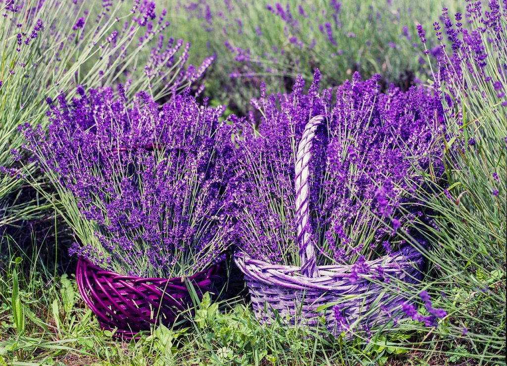 harvesting lavenders