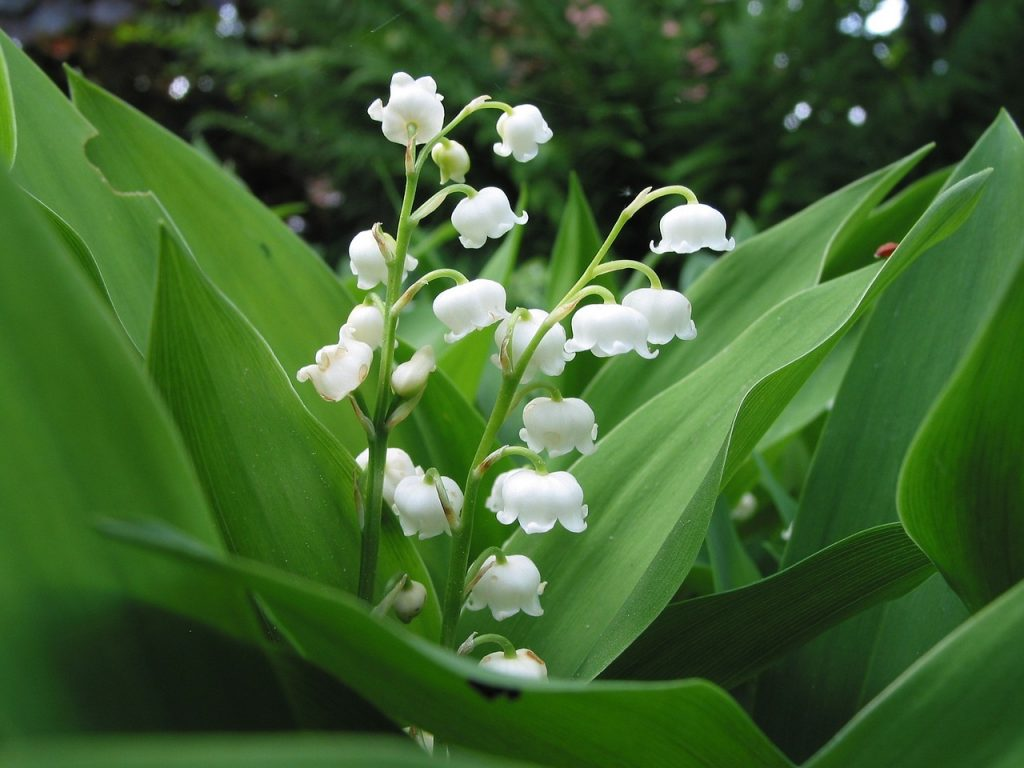 may birth flower - lily of the valley
