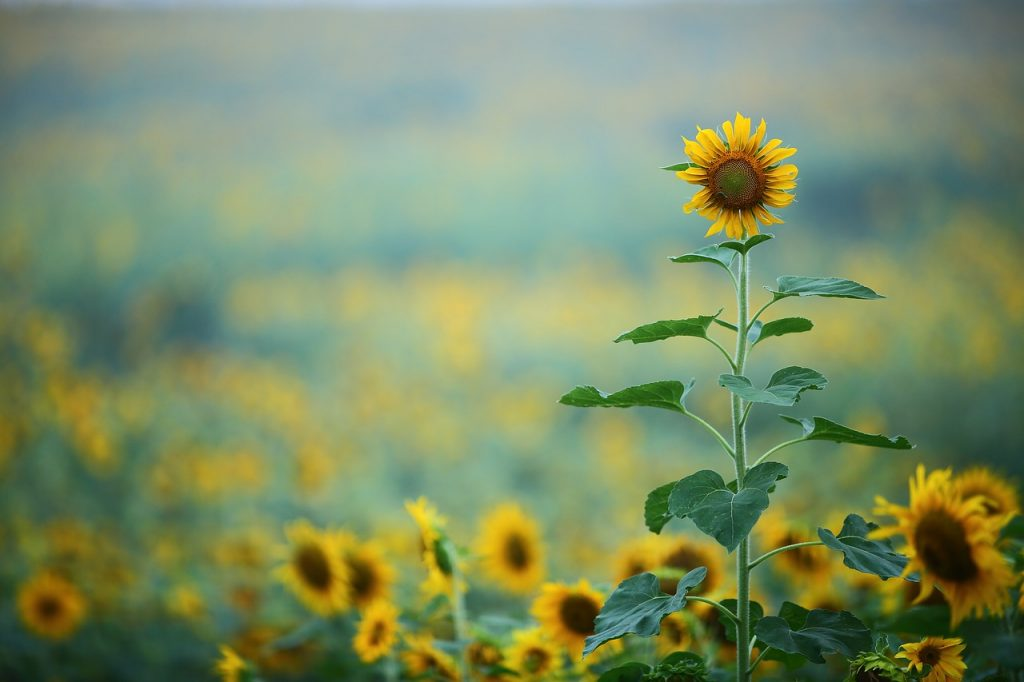 sunflowers caring