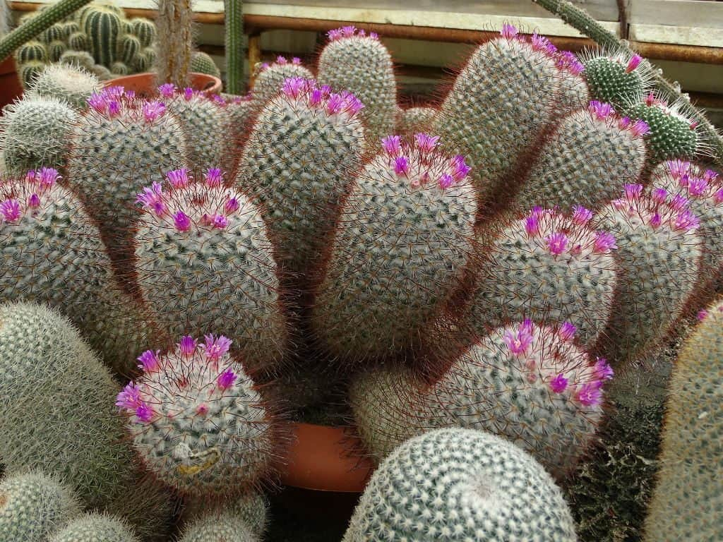 About Pincushion Cactus