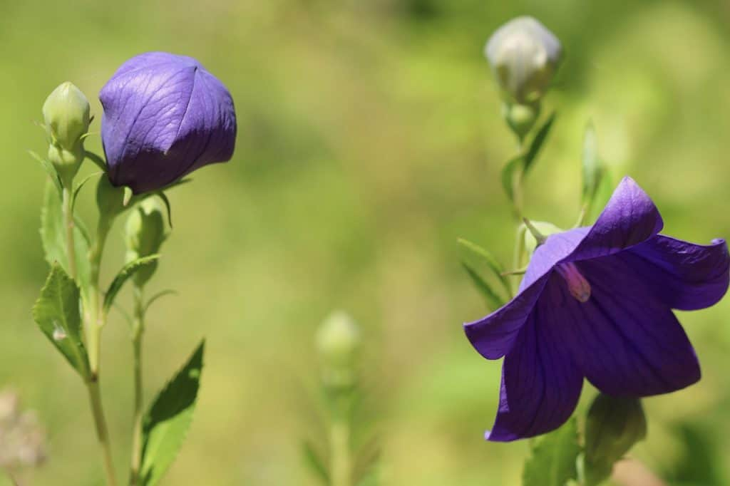 Characteristics of Balloon Flower