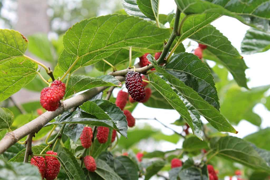Characteristics of Mulberry Tree