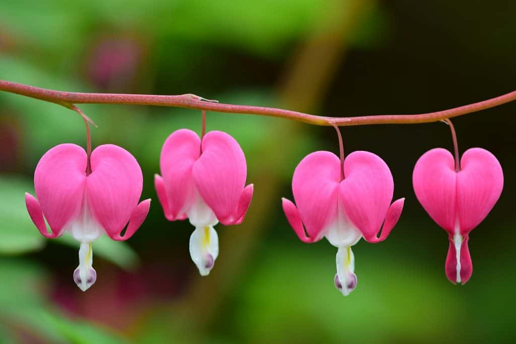 Growing Bleeding Heart Plant