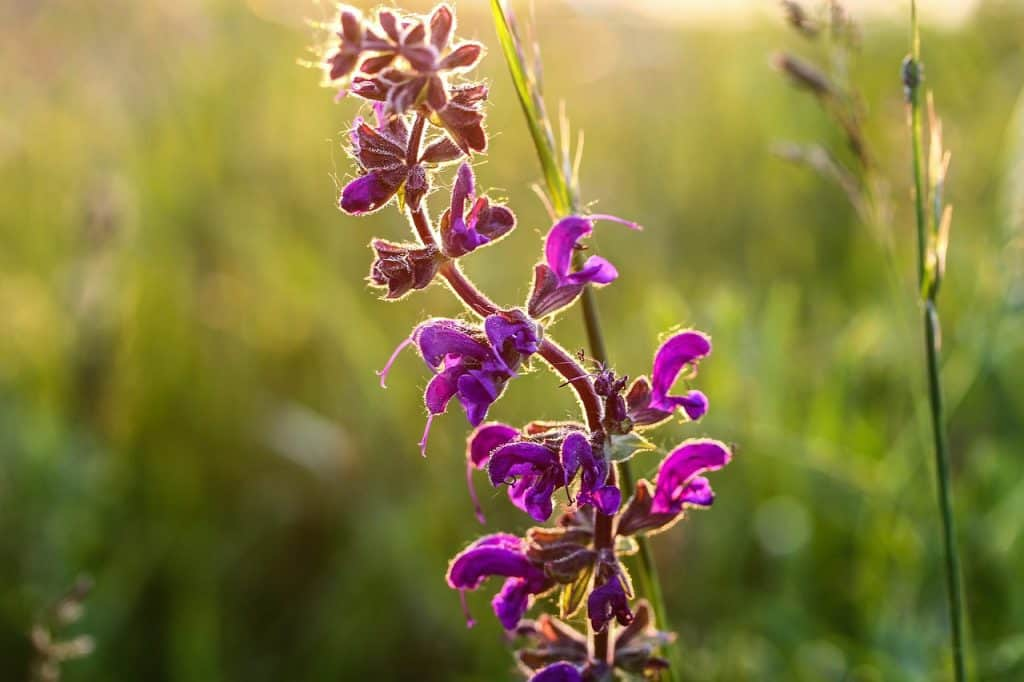 How to Plant Salvia