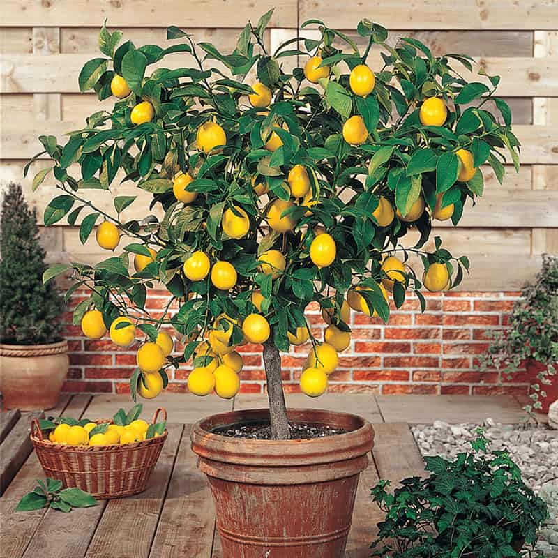 Planting Dwarf Lemon Tree