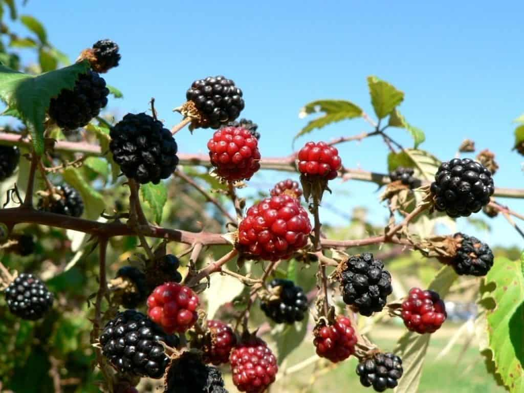 Types of Mulberry Plants