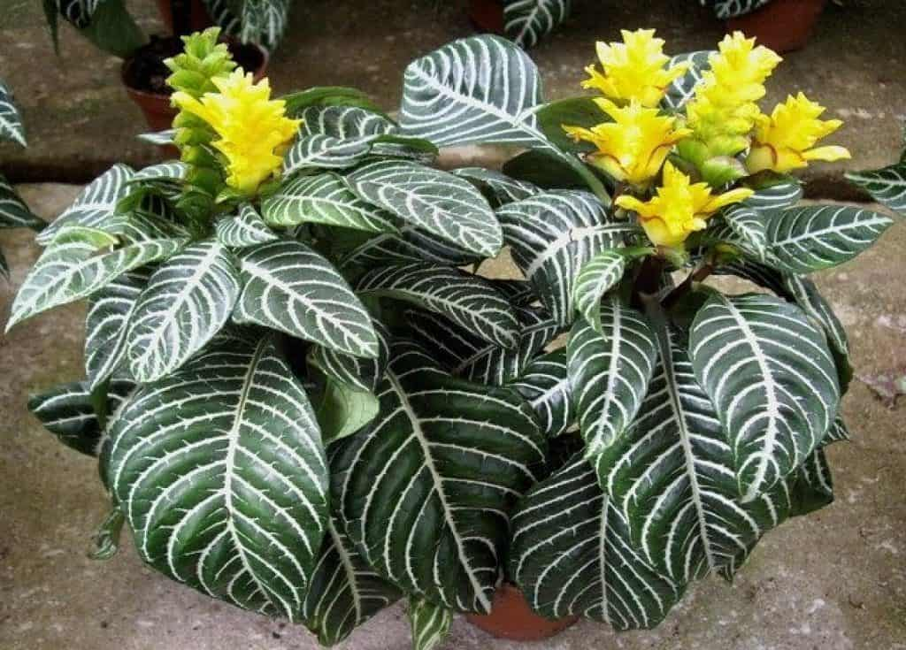 Zebra Plants