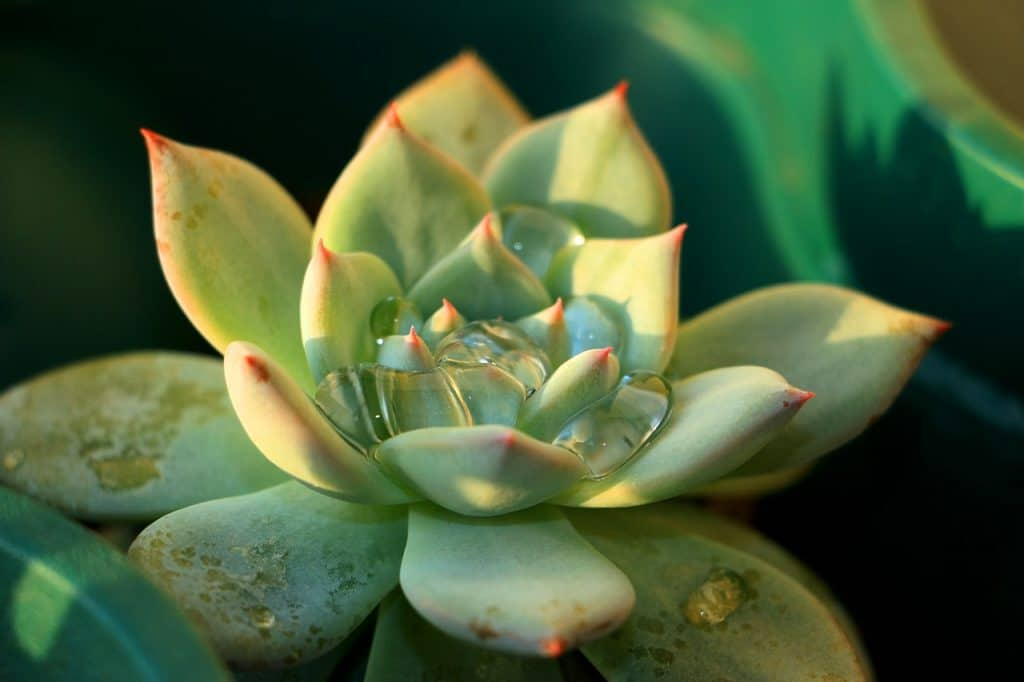 growing echeveria